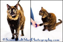 Sabrina my cute cat! / Sabrina is a 10 year old DSH cat.  She knows about 5 tricks that she can do on a verbal and visual cue.  However, her favorite thing to do is to hang out with our dogs and sleep next to them.  She is a sweet cat!  Pam's Dog Academy Pamela Johnson www.pamsdogtraining San Diego CA / by Pam's Dog Academy