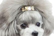 Grooming poodle