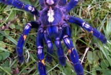 Arachnophobes Nightmare / Some love them, some hate them but Arachnids are undoubtedly fascinating