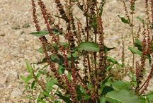Adventices / Rumex