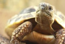 Land schildpad - grieks
