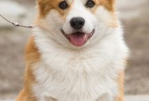 Welsh Corgi / Welsh Corgi Dogs