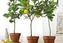 indoor fruit trees★