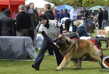 LEONBERGER DELBOY  Ch Leokings Premeire Attraction  jun Ch, An Ch 13. CW 14 International Champion / junior Champion at 10 months Irish Champion at 15 months nternational Champion& qualified for Crufts 2013 & 2015                                                                                           Green Stars      35                        Res Green Stars  12                      Best of Breeds   25                           Res Best of Breeds 10 ,          CACIB's        4 CAC              1
