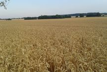 Búzamező / Nyár, búzatábla, aratás, búzakalász