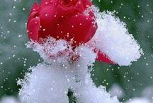 Róża Gify