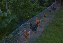 Chickens and the place they live / I want to bring my chickens home (and then get some goats).