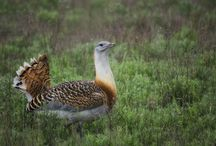 Túzokrezervátum Dévaványa / Magyarország legnagyobb testű madara
