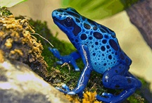 Amphibians / Frogs,toads and salamanders / by Sandra Hazen