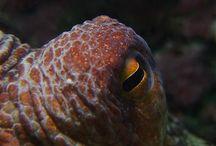 Octopus vulgaris / plongée sous marine