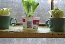regrowing veggies in kitchen