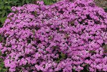 2017 PDN Spring Blooming Perennials for Sun