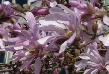 Pianta di Magnolia Stellata Leonard Messel / Vendita online di pianta magnolia stellata Leonard Messel