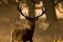 ANIMALS // Deer
