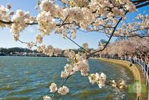 Cherry Blossoms - Washington DC / by Israel Carunungan