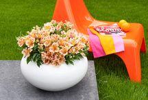 Pot alstroemeria Colorita® / Een prachtig bloeiend boeket in je tuin! De potalstroemeria Colorita® verzorgd dit een zomer lang!