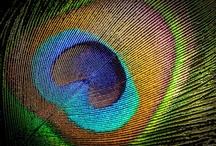 Peacock <3 / by Kamilla Karge