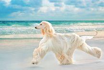Afghan hound / Beautiful and magic breed