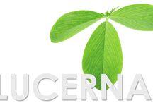LUCERNA / A lucerna jótékony hatással van az ízületekre, a csontokra, a gyomorra, szív és érrendszerre. Vitaminnal és ásványi anyagokkal tölti fel szervezetünket.