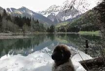 Leonberg et Border Collies / Voici les chiens de ma cousine. Son site : Des Gardiens des Lions. C'est mes amours ♡