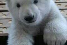 Polárne medvede