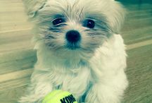 Puppy Luna / Mini Maltese