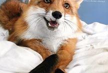 Yaz - fox