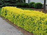 Hedging / Create a sense of privacy with leafy hedging - choose from our wide range online at http://beechdale.ie/Live-Plants-Hedging/
