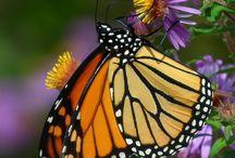Butterfly Food / Nectar plants for butterflies / by Elvira Medina