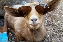 kecskék
