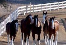 Draft horses•