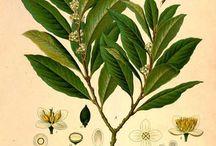 Laurus nobilis illustration