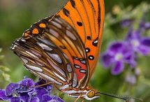 Butterflies!! / Here are pretty pictures of pretty butterflies hope you enjoy!