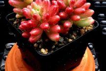 sedum, succulent