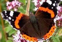 Perhosia / Suomalaisia päiväperhosia