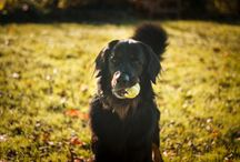 HOVAWART / My beautiful, gorgeous and awesome dog!