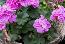 Pelargon / Pelargon, en sommarfavorit bland krukväxter!