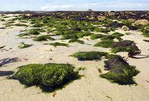 Algen-Wissen / Wissenswertes und Neuigkeiten rund um Algen als Lebensmittel