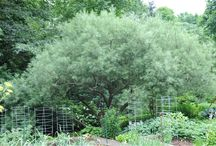 Smaller willows (Salix) / Small trees, or shrubs, that are suitable for a smaller garden