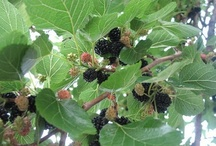 Mulberries! / by Maria Meyers