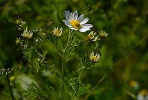 Chamomile - (Matricaria recutita)
