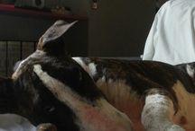 Bull terrier / Bull terrir