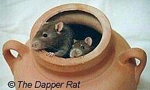 fancy rat~♥