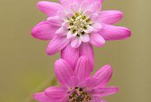 Leucheria native Chilean flower