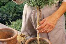 Zahradka bylinkova