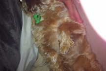 Manny & Bambi...... Brussels Griffon's of the cutest kind  / Our most beloved Brussels Griffon's