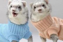 Ferrets!