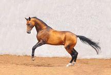 Buckskin horses