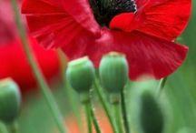 Nature - Flower II - snowdrop, primrose, tulip, daisy ....
