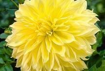 Dahlias - Yellow